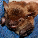 Big Brown Bat