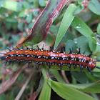 Variegated Fritillary (larvae)