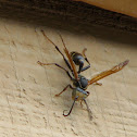 Western Paper Wasp (male)