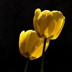 Two-lips by Vivian Gordon - Flowers Flower Gardens ( vigor, tulip, yellow, spring, closeup, flower )