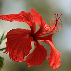 The Hibiscus by Srivenkata Subramanian - Flowers Single Flower ( bangalore, red, hibiscus, nandi hills, india, morning,  )