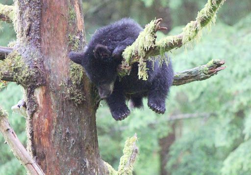 bear-nap-Ketchikan-Alaska - A bear cub takes a little nap on a tree near Ketchikan, Alaska.