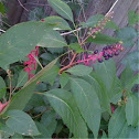 Pokeweed, has reddish stems