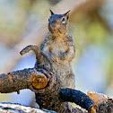 Ardilla de Pedregal (California Ground Squirrel )