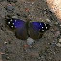 Florida Purplewing.
