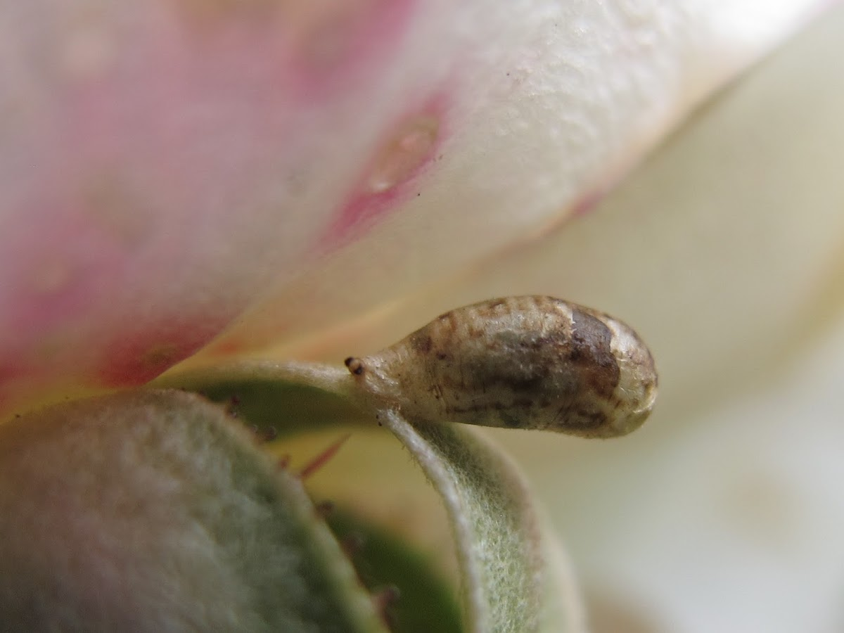 Syrphid Fly Pupa