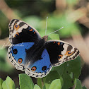 Blue Pansy - male