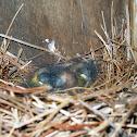 Sleeping Baby Bluebirds