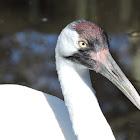 Endangered Whopping crane