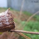 Mantis's Eggs