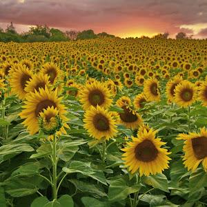 70D_0677 sunflowers Newbury sunset red 9-9-2014  web 6.jpg