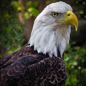 Regal by Lori Louderback - Animals Birds (  )