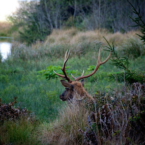 An elk near Fern Canyon, Redwoods State and Nat'l Parks, California. by Michael White - Animals Other Mammals