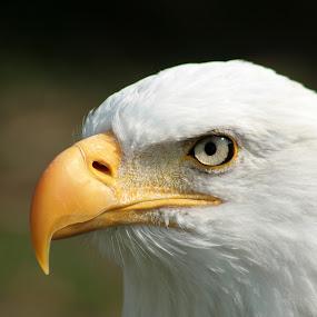 Bald Eagle Watching by Robert Hamm - Animals Birds ( otavalo, eagle, bird of prey, ecuador, bald eagle, meat eater, american bald eagle, bird, hunter, carnivore, nature, outdoor, raptor, bird sanctuary,  )