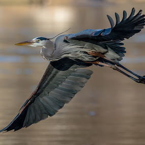 Great Blue flyby  by Mike Watts - Animals Birds ( great blue heron, bird, heron )