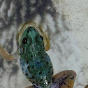 Green Frog (mutation)