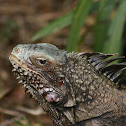 Common or Green Iguana