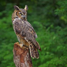 I see you! by Dyane Kirkland - Animals Birds ( bird, owl, raptor, horned owl, great horned owl,  )