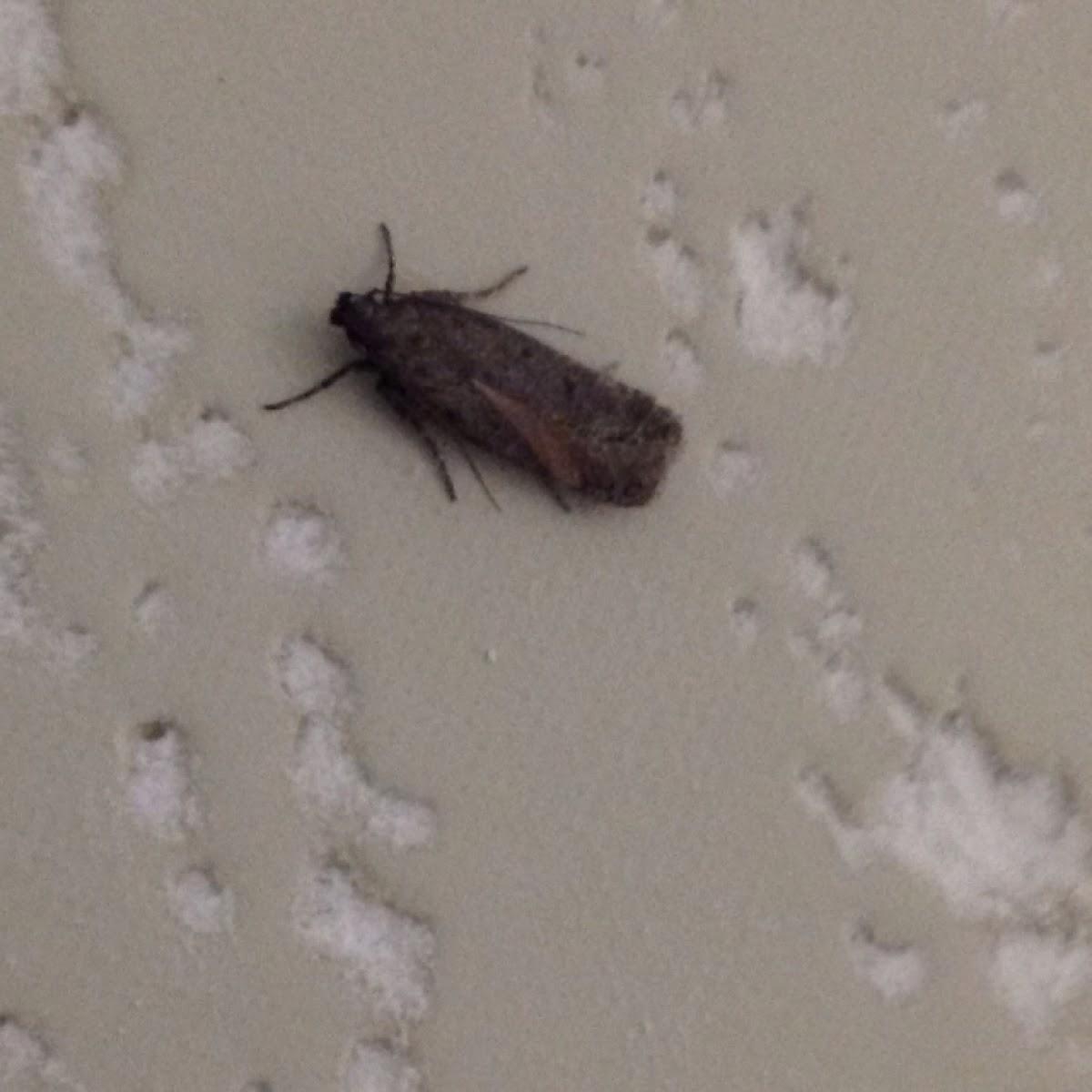 Dull Flatbody Moth