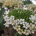 West Indian jasmine
