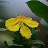 Arbusto de flor amarilla