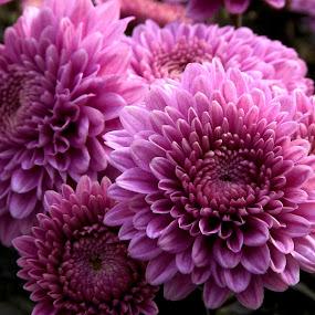 by Chandradeep Ghosh - Flowers Flower Gardens
