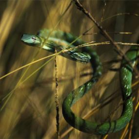 Aggressive by Sudarmanto Edris - Animals Reptiles (  )