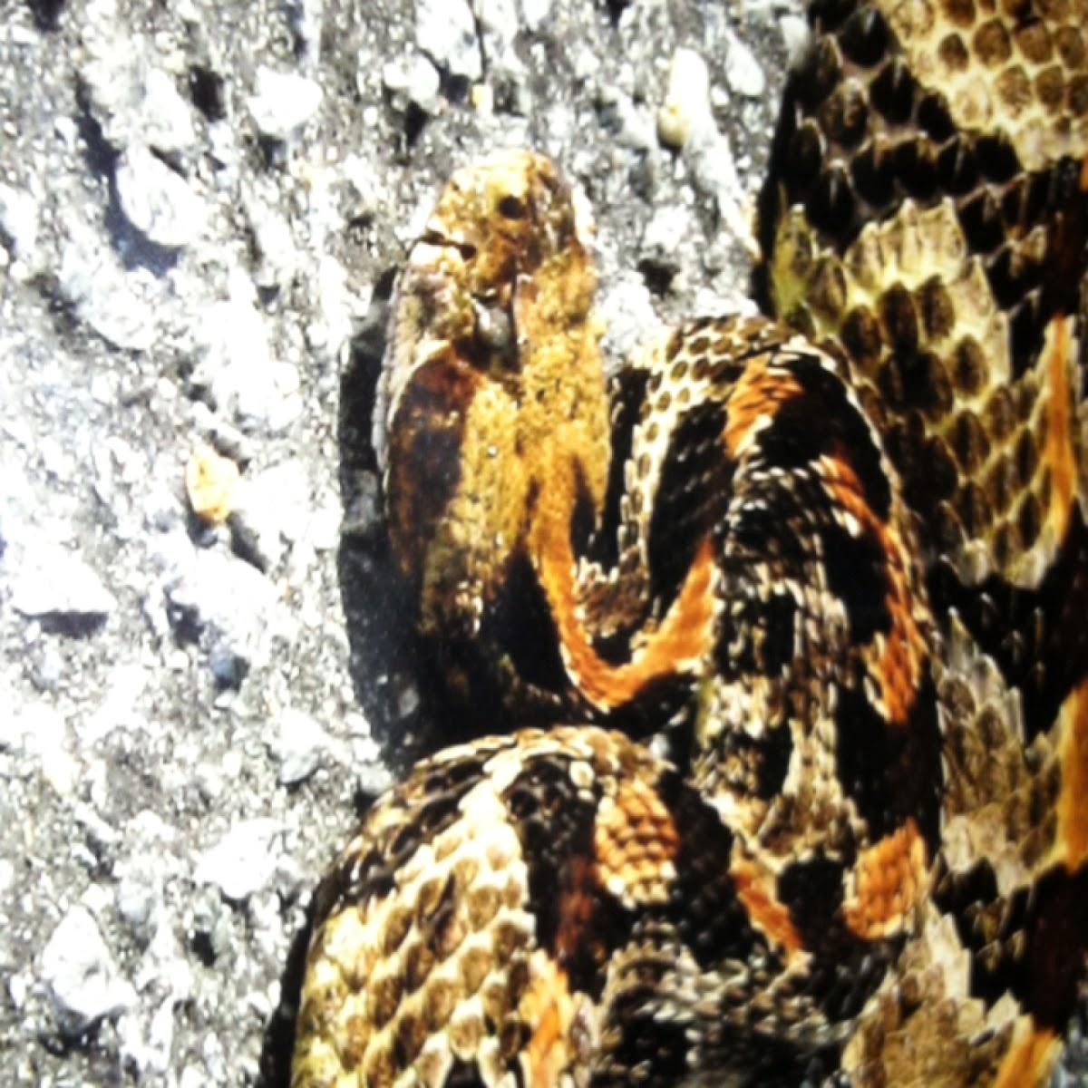 Timber Rattlesnake (Southern Variation)