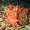 Candycane Sea Cucumber
