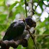 Loro coroniblanco, Chucuyo, White-crowned Parrot