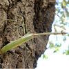 Indian rose mantis / wandering violin mantis