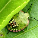 Nymph Green Vegetable Bug