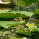 Water Frog / Wasserfrosch