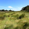 Salt marsh hay