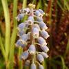 Muscaris en flor