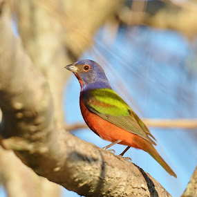 Painted Bunting by Bo Chambers - Animals Birds ( bird, wild, bunting, painted bunting, painted, colorful, male )