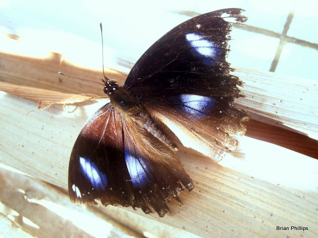Common eggfly male.