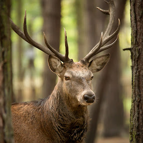 Through the Trees by Selena Chambers - Animals Other Mammals ( red deer, deer stag, red deer stag, stag, red stag, deer )