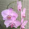 Orquídea Príncipe