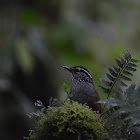 Gray-breasted Wood Wren