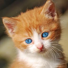 by Ivan Marjanovic - Animals - Cats Kittens (  )