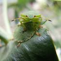 Green Shield Bug (Stink Bug)