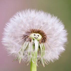 Miss Dandelion by Manuela Kägi - Flowers Single Flower ( dandelion, summer, lady, friendly, positive, smile, miss )