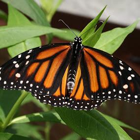 Monarch Butterfly by Ken Keener - Animals Insects & Spiders ( orange, butterfly, white spots, butterflies, monarch,  )