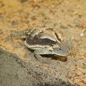 Long Spined Lizard