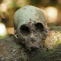 Rhesus Macaque skull (juvenile)