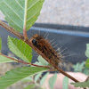 SaltMarsh Caterpillar