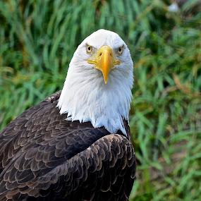 Eye See U by  J B  - Animals Birds ( eagle, bald eagle, american bald eagle )
