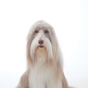 by Graham Sivills FBCS - Animals - Dogs Portraits (  )