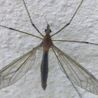 Hanging Fly